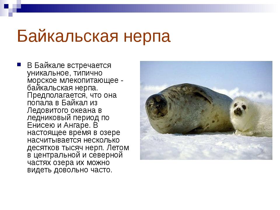 Байкальская нерпа В Байкале встречается уникальное, типично морское млекопита...