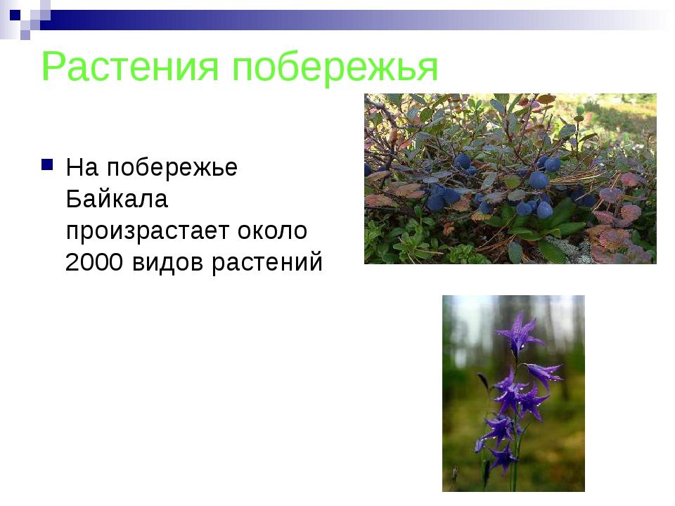 Растения побережья На побережье Байкала произрастает около 2000 видов растений