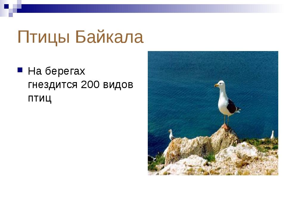 Птицы Байкала На берегах гнездится 200 видов птиц