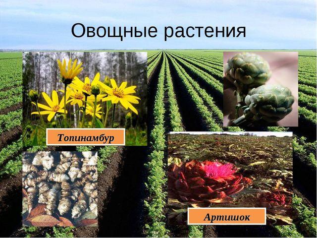 Овощные растения Топинамбур Артишок