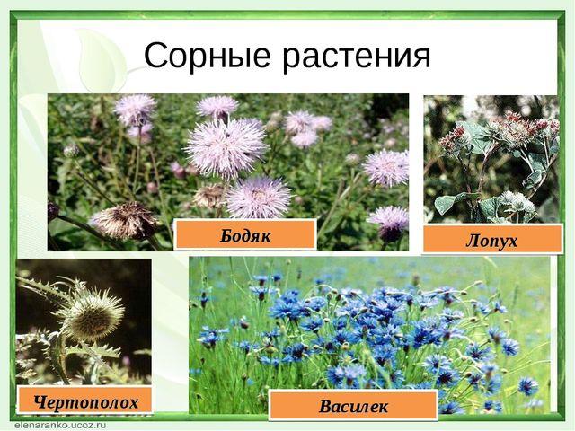 Сорные растения Василек Бодяк Чертополох Лопух