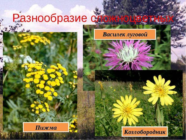Разнообразие сложноцветных Пижма Козлобородник Василек луговой