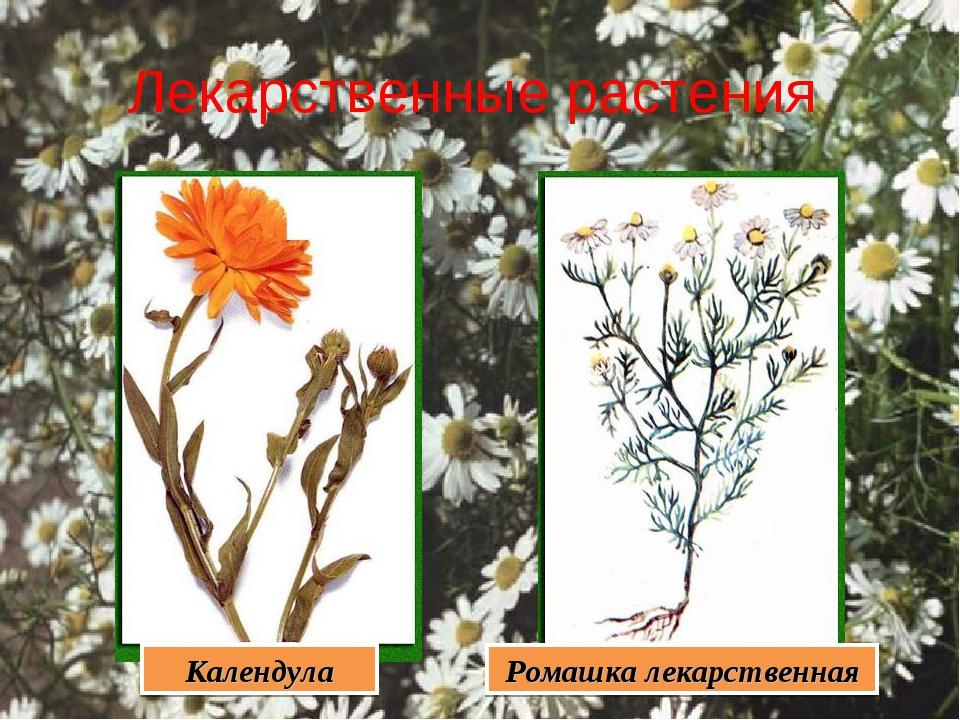 Лекарственные растения Календула Ромашка лекарственная