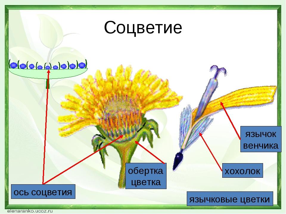 Соцветие язычковые цветки