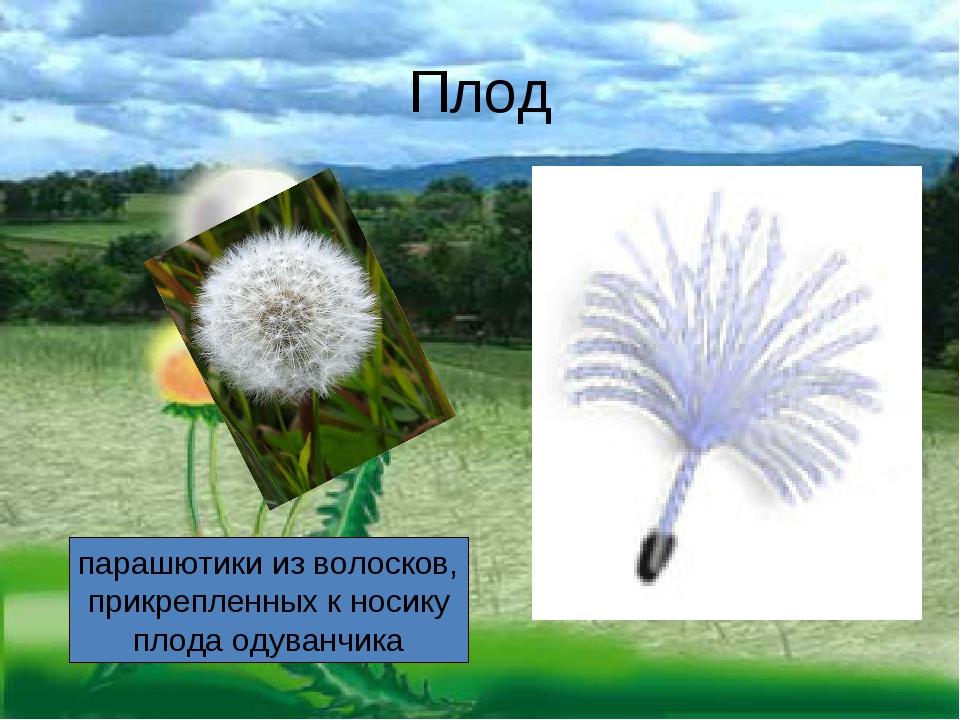Плод парашютики изволосков, прикрепленных кносику плода одуванчика