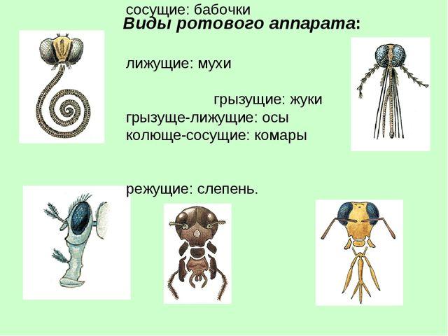 Виды ротового аппарата: сосущие: бабочки лижущие: мухи грызущие: жуки грызуще...