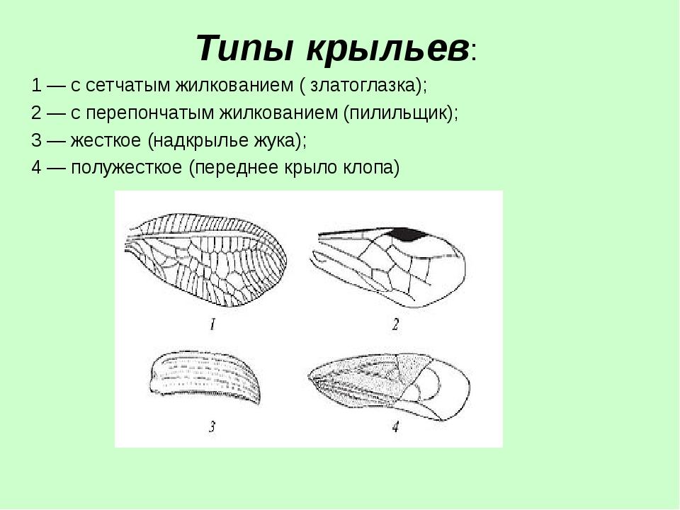 Типы крыльев: 1— с сетчатым жилкованием ( златоглазка); 2 — с перепончатым ж...
