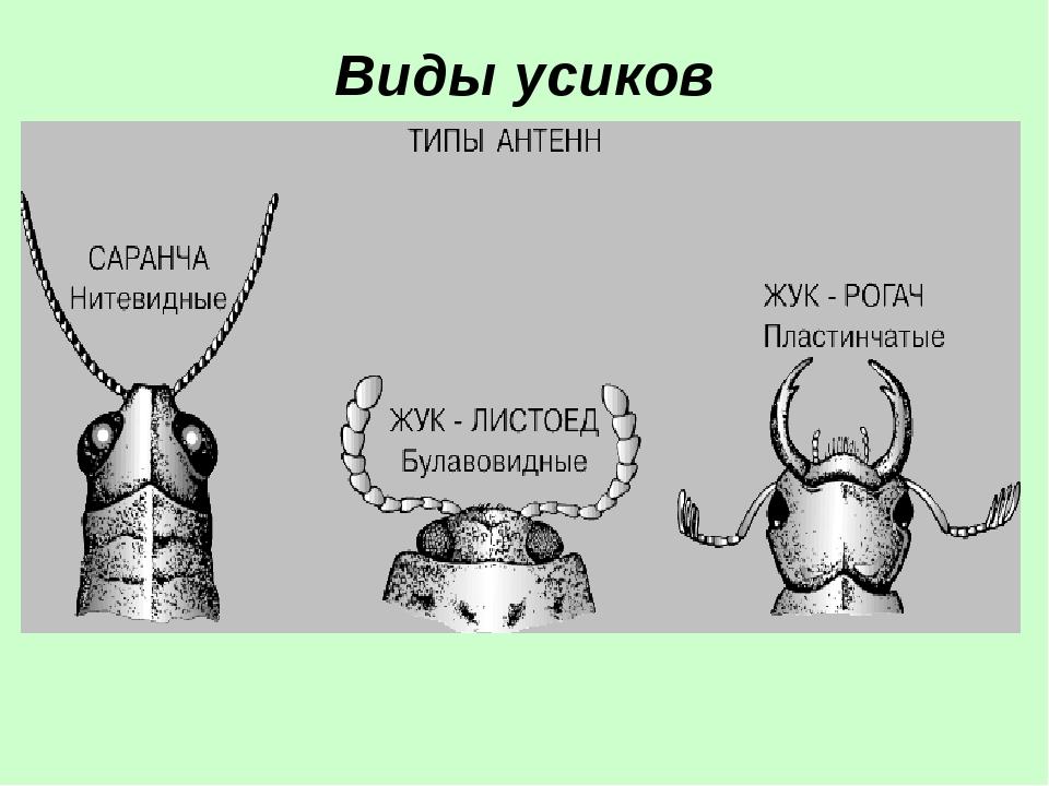 Виды усиков