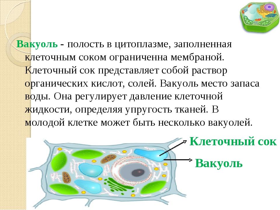 Вакуоль - полость в цитоплазме, заполненная клеточным соком ограниченна мембр...