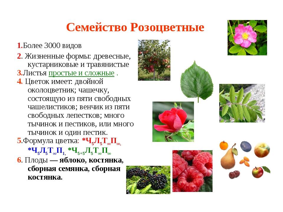 Семейство Розоцветные 1.Более 3000 видов 2. Жизненные формы: древесные, куста...