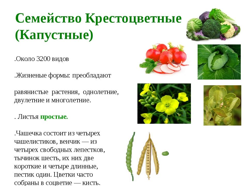 Семейство Крестоцветные (Капустные) 1.Около 3200 видов 2.Жизненые формы: прео...