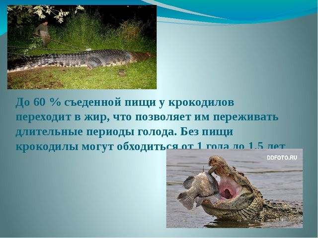До 60 % съеденной пищи у крокодилов переходит в жир, что позволяет им пережив...