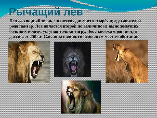 Рычащий лев Лев — хищный зверь, является одним из четырёх представителей рода...