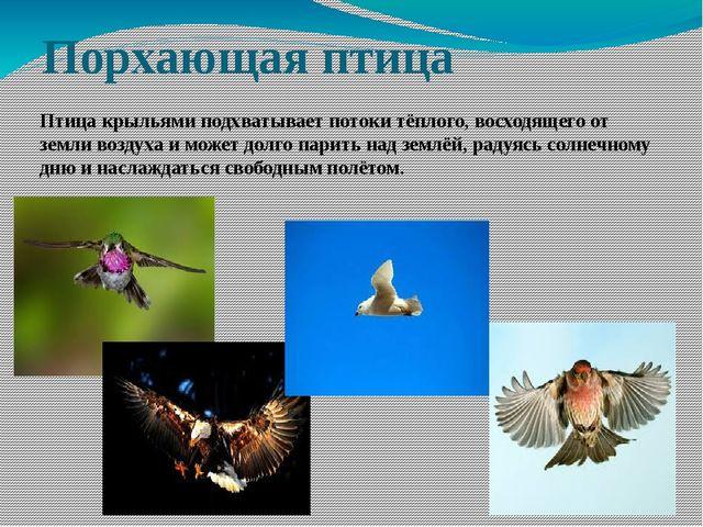 Порхающая птица Птица крыльями подхватывает потоки тёплого, восходящего от зе...