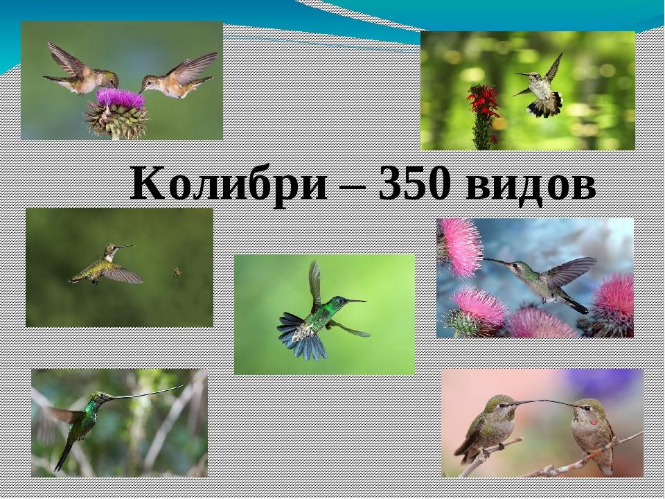 Колибри – 350 видов