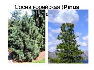 Сосна корейская (Pinus koraiensis)