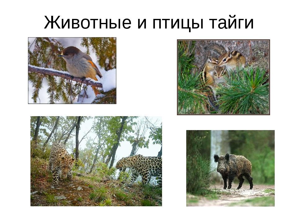 Животные и птицы тайги