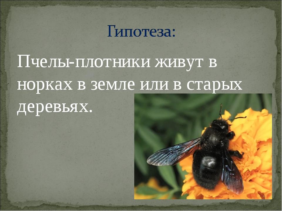Пчелы-плотники живут в норках в земле или в старых деревьях.