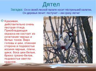 Дятел Загадка: Он в своей лесной палате носит пёстренький халатик, Он деревья