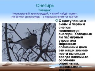 Снегирь Загадка: Чернокрылый, красногрудый, и зимой найдёт приют: Не боится о