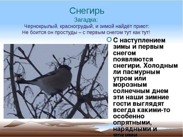 Снегирь Загадка: Чернокрылый, красногрудый, и зимой найдёт приют: Не боится о...
