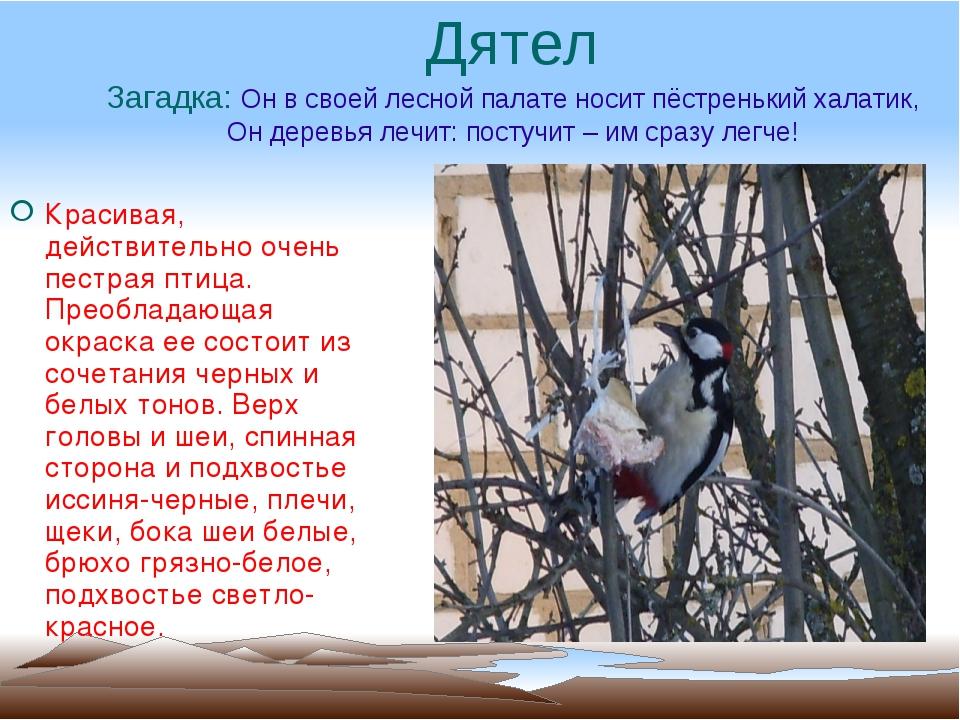 Дятел Загадка: Он в своей лесной палате носит пёстренький халатик, Он деревья...