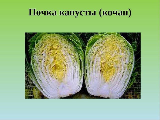 Почка капусты (кочан)