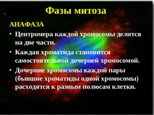 Фазы митоза АНАФАЗА Центромера каждой хромосомы делится на две части. Каждая