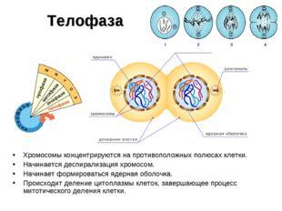 Телофаза Хромосомы концентрируются на противоположных полюсах клетки. Начинае
