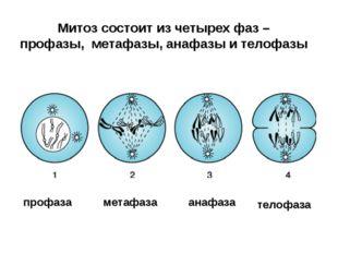Митоз состоит из четырех фаз – профазы, метафазы, анафазы и телофазы профаза