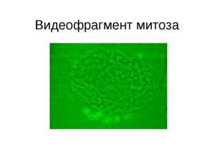 Видеофрагмент митоза