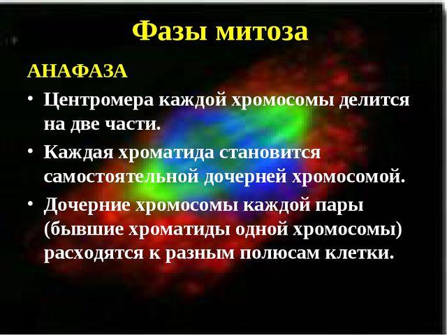 Фазы митоза АНАФАЗА Центромера каждой хромосомы делится на две части. Каждая...