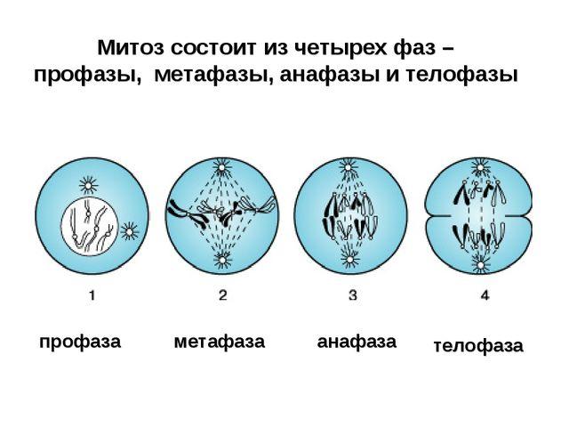 Митоз состоит из четырех фаз – профазы, метафазы, анафазы и телофазы профаза...
