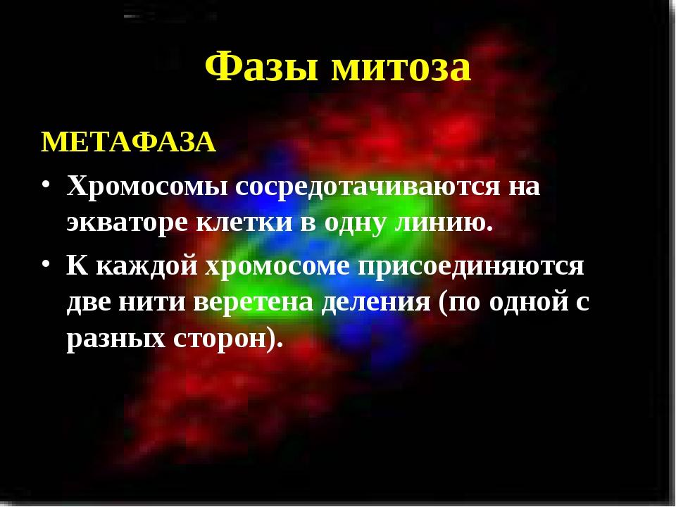 Фазы митоза МЕТАФАЗА Хромосомы сосредотачиваются на экваторе клетки в одну ли...