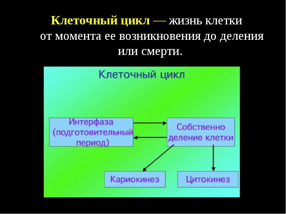 Клеточный цикл— жизнь клетки отмомента еевозникновения доделения или смер...