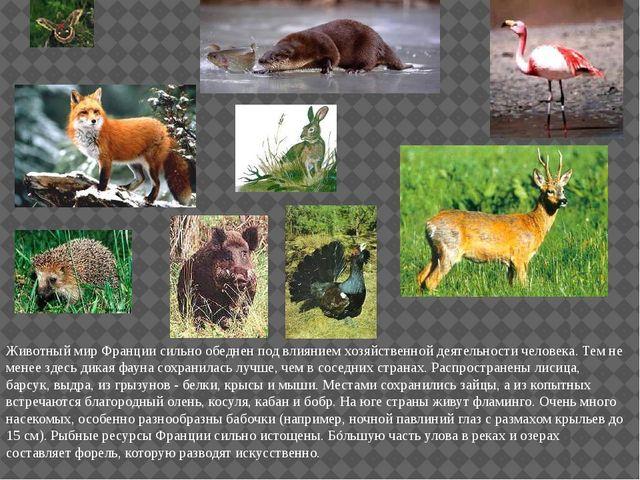 Животный мир Франции сильно обеднен под влиянием хозяйственной деятельности ч...