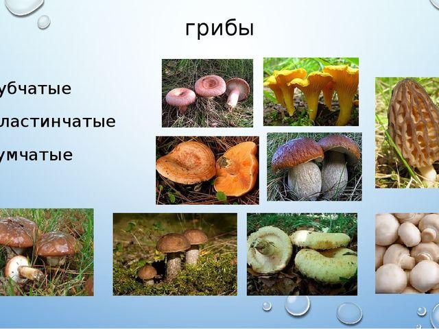 грибы Губчатые Пластинчатые сумчатые