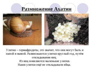 Размножение Ахатин Улитки – гермафродиты, это значит, что они могут быть и па