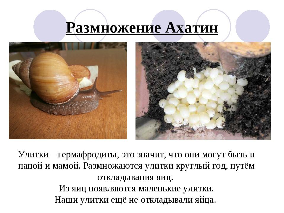 Размножение Ахатин Улитки – гермафродиты, это значит, что они могут быть и па...