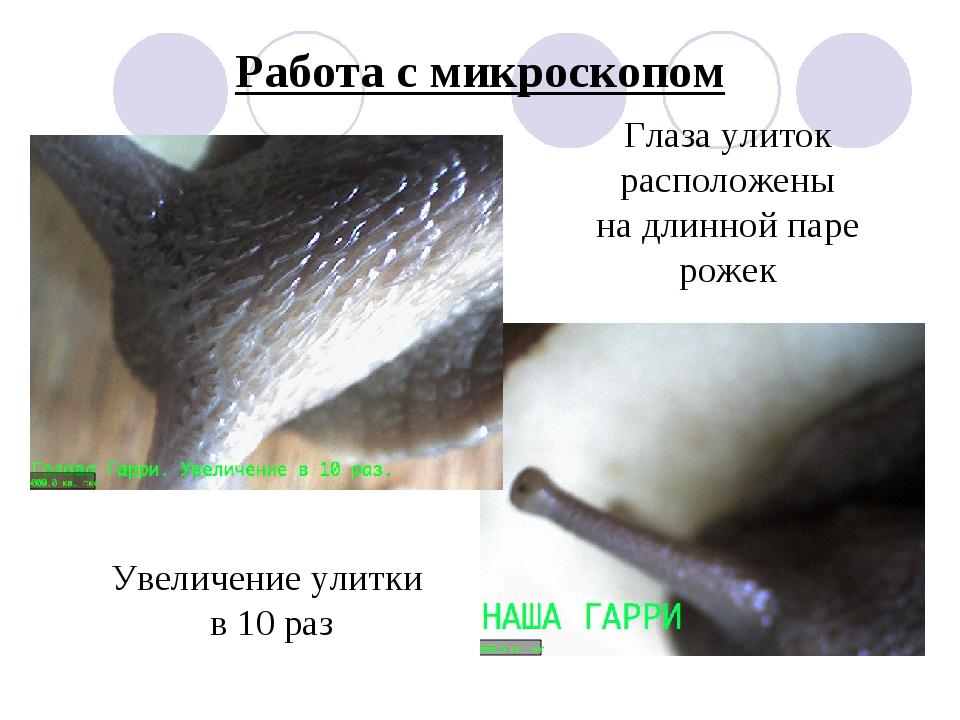Работа с микроскопом Глаза улиток расположены на длинной паре рожек Увеличени...