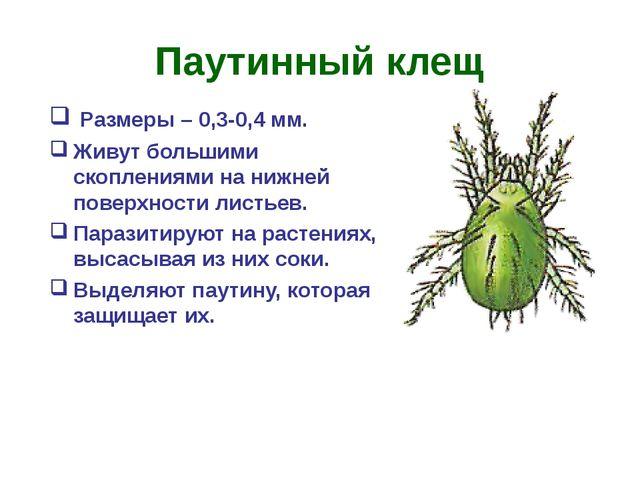Паутинный клещ Размеры – 0,3-0,4 мм. Живут большими скоплениями на нижней пов...