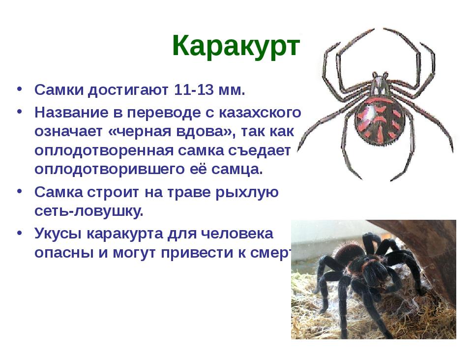 Каракурт Самки достигают 11-13 мм. Название в переводе с казахского означает...
