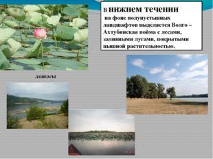 В нижнем течении на фоне полупустынных ландшафтов выделяется Волго –Ахтубинск