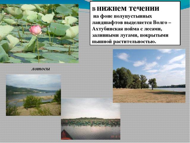 В нижнем течении на фоне полупустынных ландшафтов выделяется Волго –Ахтубинск...