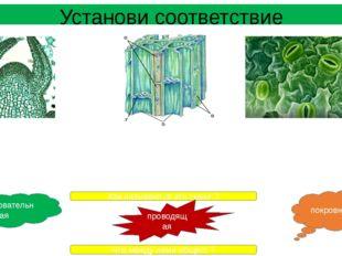 Установи соответствие Образована живыми и мертвыми клетками. Пробка у деревье