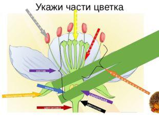 Укажи части цветка Л Е П Е С Т О квенчика тычиночнаянить пыльник Чашелистик ч