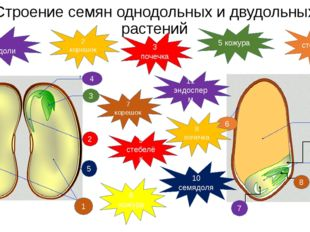 Строение семян однодольных и двудольных растений 1 2 3 4 5 7 8 9 11 10 6 1 се