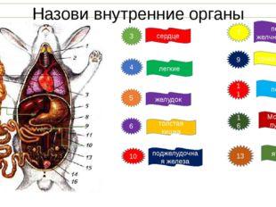 Назови внутренние органы 3 4 5 6 10 сердце легкие желудок толстая кишка подже