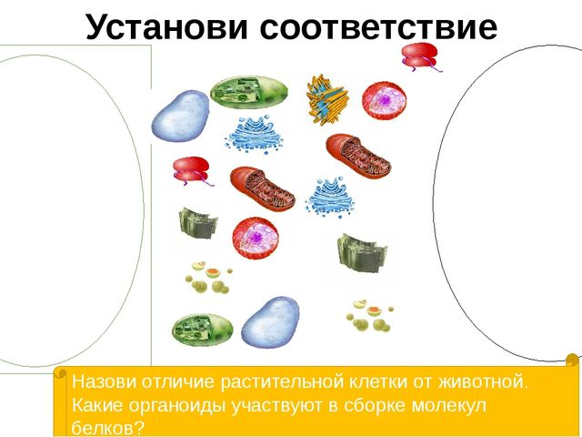 Установи соответствие Назови отличие растительной клетки от животной. Какие о...
