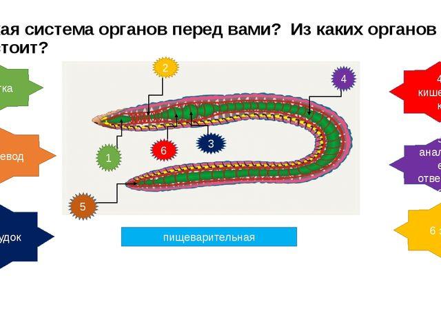 Какая система органов перед вами? Из каких органов состоит? пищеварительная 1...